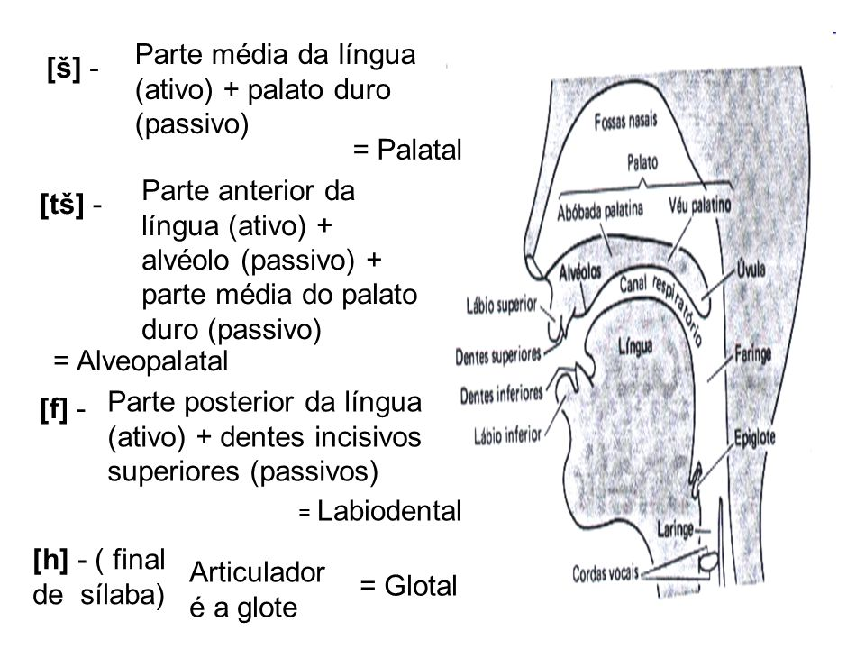 Parte média da língua (ativo) + palato duro (passivo) [š] -
